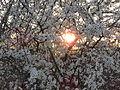 Weißdorn im Sonnenlicht.JPG