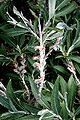 Weide (Salix candida) 5829.JPG