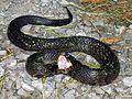 Western Cottonmouth (Agkistrodon piscivorus leucostoma) - Flickr - GregTheBusker (1).jpg