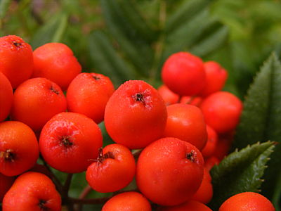 Western mountain ash (Sorbus sitchensis) -- fruit (close-up).JPG