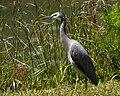 White-Faced Heron (6352135334).jpg