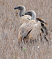 White-backed Vultures (Gyps africanus) (32407453563).jpg