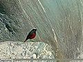White-capped Redstart (Chaimarrornis leucocephalus) (23812080149).jpg
