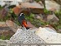 White-capped Redstart (Chaimarrornis leucocephalus) (31934684422).jpg