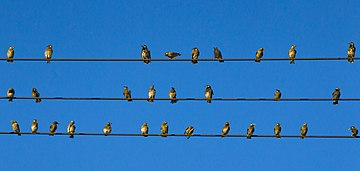 White-cheeked Starlings perching on the cables.jpg