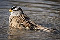 White-crowned Sparrow (23746658652).jpg
