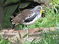 White-headed Lapwing RWD6.jpg