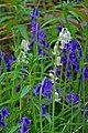 White Bluebells - geograph.org.uk - 1282847.jpg