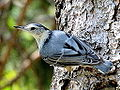 White Breasted Nuthatch (7557046280).jpg