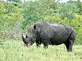 White Rhino (Ceratotherium simum) (51127150934).jpg