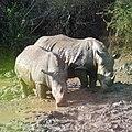 White Rhinoceros (2875289424).jpg