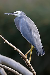 White faced heron dec08.jpg