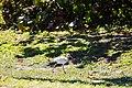 White ibis (32852512970).jpg