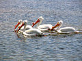 White pelicans fishing.jpg