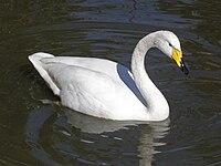 Whooper Swan RWD2.jpg