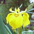 Wild Lily - panoramio.jpg