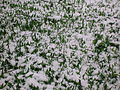 Wild garlic (Allium ursinum) in the snow at Spier's school,.jpg