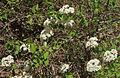 Wild raisin Viburnum cassinoides bush.jpg