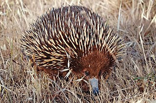 Short-beaked echidna Spiny furred egg-laying mammal from Australia