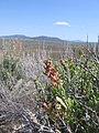 Wildflowers, fort rock (802726614).jpg