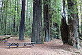 Williams Grove - Humboldt Redwoods State Park - DSC02391.JPG