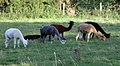 Wiltshire-28-Alpakas-2004-gje.jpg