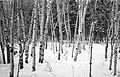 Winter trees, Whitehorse, Yukon (11291938234).jpg
