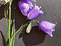 Witasek-Glockenblume (Campanula witasekiana), Blüten.jpg