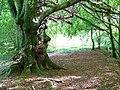 Woodland, East Tullyfergus - geograph.org.uk - 1540105.jpg