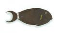 XRF-Acanthurus nigricauda.png