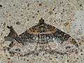 Xanthorhoe ferrugata - Dark-barred twin-spot carpet - Ларенция изменчивая (39150437310).jpg