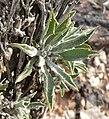 Xylorhiza tortifolia 5.jpg