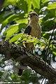 Yellow-headed Caracara - Cerro Ancon - Panama City (48444484162).jpg