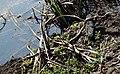 Yellow Rat Snake (Elaphe obsoleta quadrivittata) (38062283601).jpg