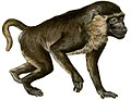 Yellow baboon white background.jpg