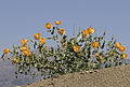 Yellow horned poppies - Glaucium sp 11.jpg