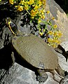 Yellowbelly Slider (Trachemys scripta scripta) (Captive specimen) (45103487581).jpg