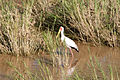 Yellowbilled Stork 2393408248.jpg