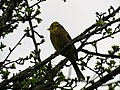 Yellowhammer on Haytor Down.jpg