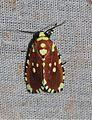 Yepcalphis dilectissima (Noctuidae- Noctuinae) (6133252365).jpg