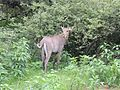 Young male nilgai AJT Johnsingh.jpg