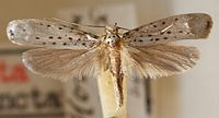 Yponomeuta.sedellus.mounted.jpg