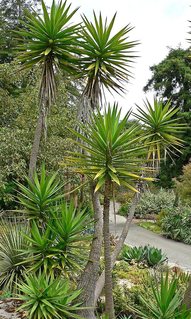yucca geant dans une de ses pays d'origines les Antilles
