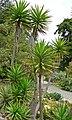 Yucca aloifolia 1.jpg