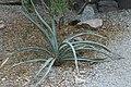 Yucca baccata 10zz.jpg