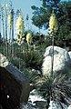Yucca whipplei subsp.caespitosa fh 1179.58 CAL B.jpg