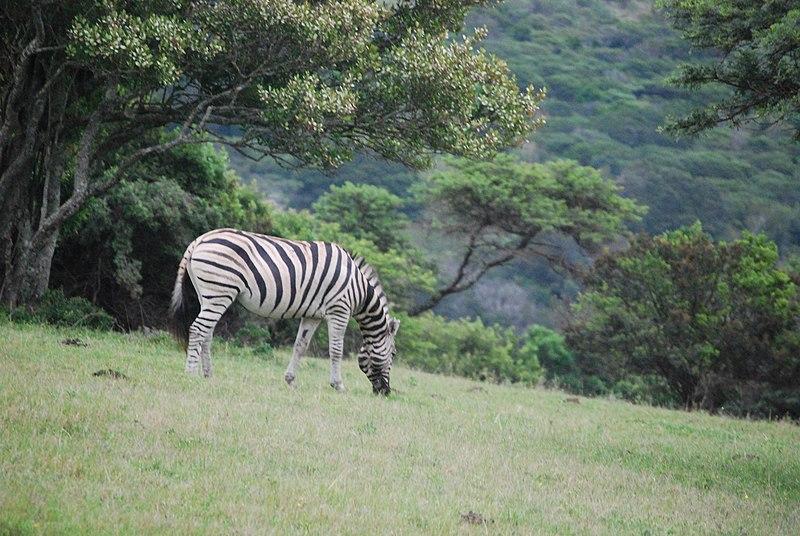 File:Zebra Zuid-Afrika.jpg