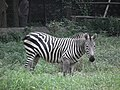 Zebra from Bannerghatta National Park 8701.JPG