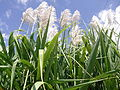 """Flowers of sugar cane"".jpg"