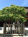 """Kogo no Ume"" plum tree in front of Gohonden of Dazaifu Temman Shrine.jpg"